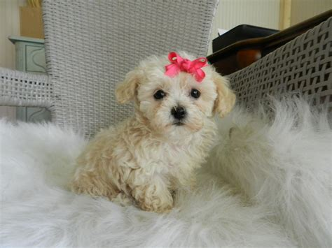 poodle for sale tiny teacup shih tzu puppies breeds picture