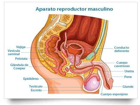 libro el perine femenino y anatomia y fisiolog 237 a aparato reproductor masculino y femenino