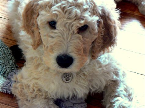 ginger doodle puppy 100 ginger doodle puppy dogs u0026 puppies dogs
