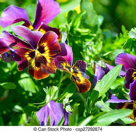 fiore viole bello pianta fiore viole pensiero viola giallo