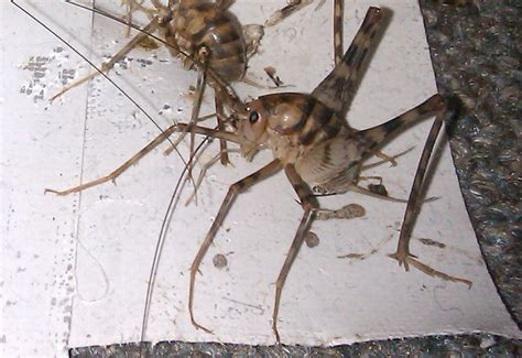 camel crickets infest basement in new york what s that bug