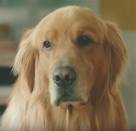 subaru golden retriever commercials golden retriever tv commercial golden retriever tv commercial golden retriever archives