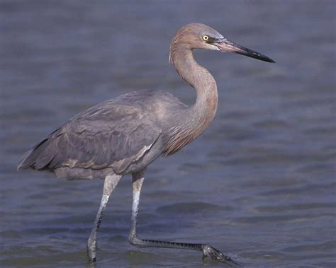A Pic Of With by Reddish Egret Audubon Field Guide