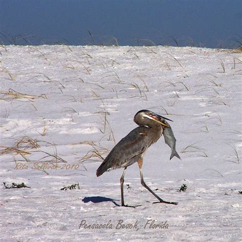 florida bird a fine catch on pensacola beach 5x7 photo