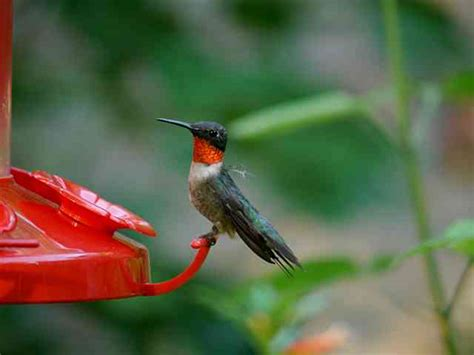 best 28 do hummingbirds fight rufous hummingbirds
