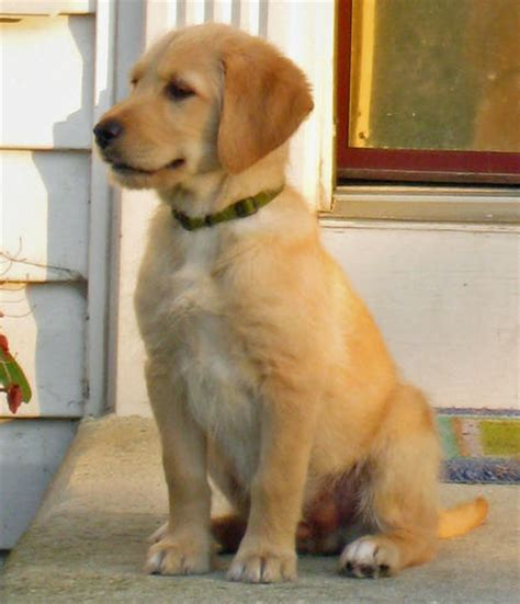 pictures of lab golden retriever mix monty the labrador mix pictures 365599