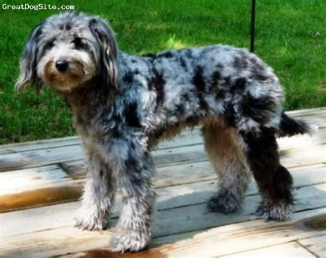 blue merle aussiedoodle puppies for sale sheepadoodle goldendoodle sheepadoodle breed info center breeds picture