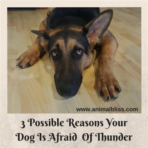 why are dogs scared of thunder 3 possible reasons your is afraid of thunder animal bliss