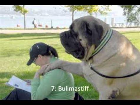 dogs in danger top 15 most dangerous breeds 2013