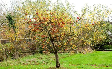cherry tree mac os x how to prune your apple tree the telegraph