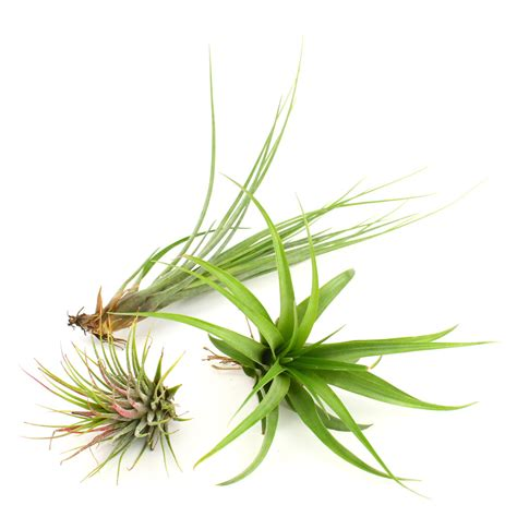 air plants the arrowhead diy air plant terrarium kit juicykits com