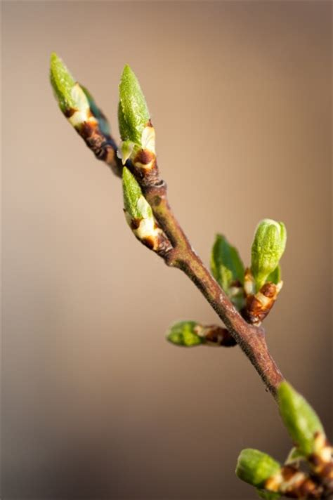 tree buds free stock photo public domain pictures
