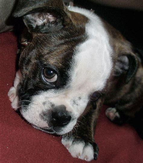 bulldog terrier puppies minion the boston terrier bulldog puppies daily puppy