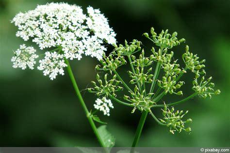 Garten Pflanzen Erkennen by Giersch Girsch Erkennen Und Richtig Bek 228 Mpfen Hausgarten Net