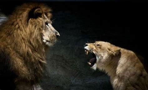 ferocious lionesses  pics izismilecom