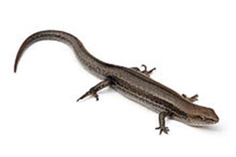 what do backyard lizards eat common garden skink wikipedia