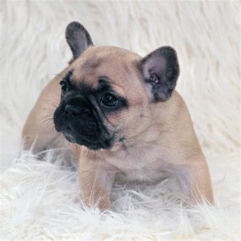 cheap bulldog puppies for sale cheap puppies for sale