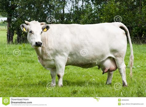imagenes de vacas blancas vache blanche images stock image 20592284