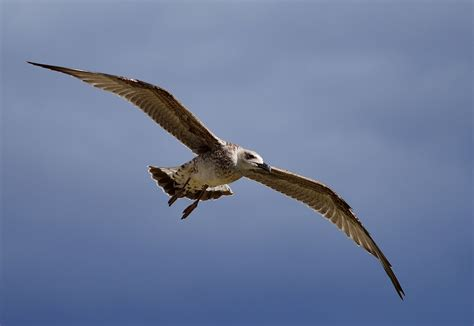 gabbiano uccello gabbiano uccelli 28 images gabbiano comune immagini
