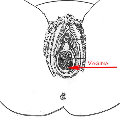 vag diagram reproductive system external view with diagrams