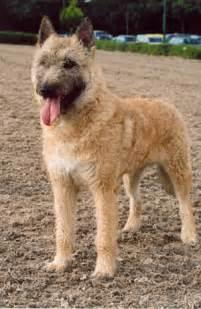 belgian shepherd laekenois puppies for sale belgian laekenois puppies breeders laekenois