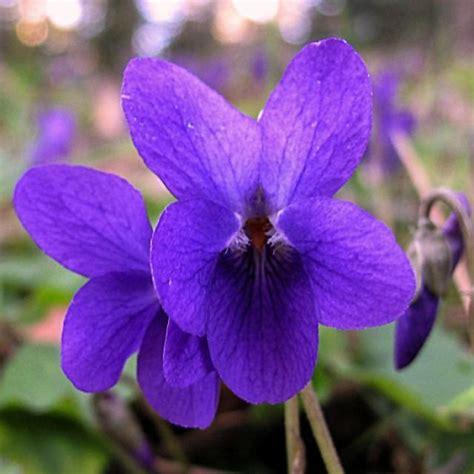 La Cueillette Des Violettes Le Blog De Quot Maman Douceur Quot