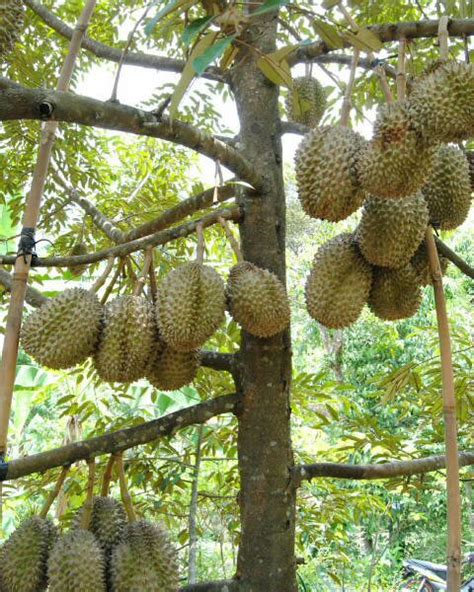 Bibit Durian Montong Bawor durian lokal unggulan bibit durian montong bibit durian