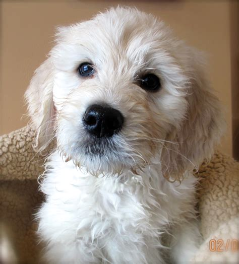 goldendoodle puppies for sale doodle puppies www pixshark images