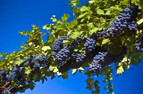 grapes fruit tree http hd 2012 01 grapes