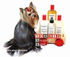 yorkie ear hair removal shorkie schnauzer and yorkie mix this is my precious baby cooper