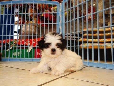 craigslist shih tzu puppies for sale shih tzu puppies dogs for sale in virginia