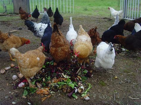 backyard poultry farming chicken treats