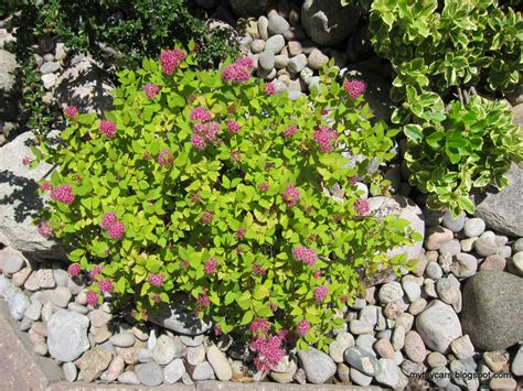 plants in the garden spirea magic carpet