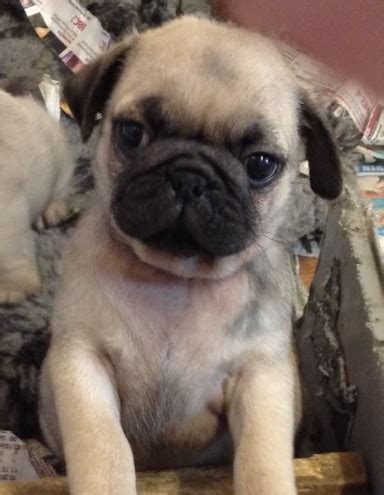 pug puppies in kent stunning pug puppies herne bay kent pets4homes