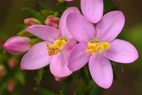 fiori di bach centaury fiori di bach centaury il fiore di chi 232 arrendevole