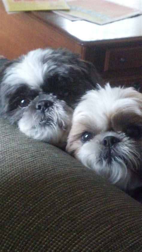 shih tzu puppy wont eat 675 best shih tzu pictures images on baby shih tzu shih tzu puppy and puppies