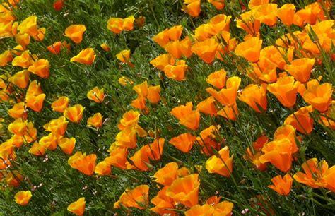 linguaggio dei fiori papavero escolzia papavero della california linguaggio dei fiori