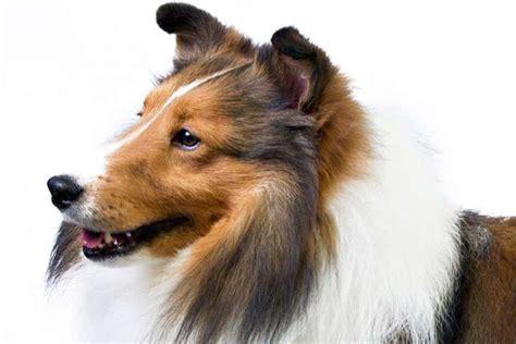 Do Sheltie Dogs Shed by Shetland Sheepdog Sheltie Breed Information