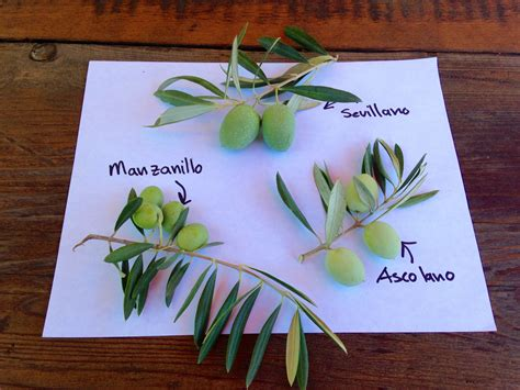3 common olive varieties responsible for the california