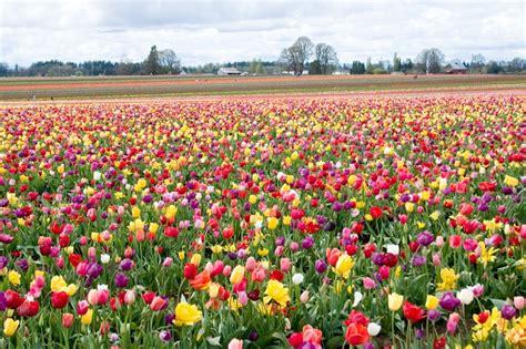 thenigo com blooming tulips in the netherlands