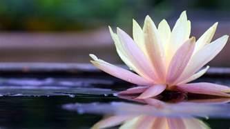 Fleur De Lotus Fleur