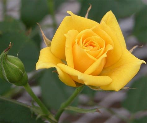 free wallpaper yellow roses yellow rose flower wallpapers wallpaper cave