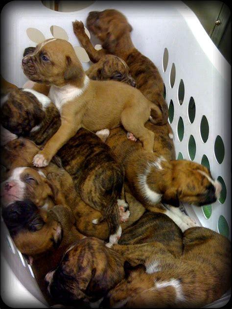 pomeranian pitbull basket of white boxer pit bull mix puppies i want