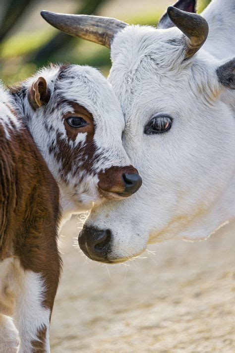 imagenes variadas animales new colorful calf with momma ٩ ۶ ḟḁṳṇḁ ṡḧṏṯṡ