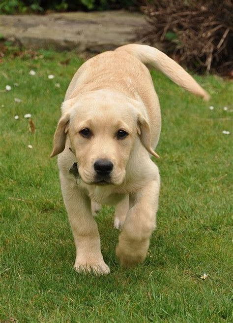 feeding a lab puppy 17 best ideas about yellow labrador puppies on labrador retriever