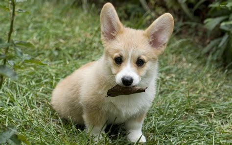 pup animal pembroke corgi puppy wallpaper animal wallpapers 34774