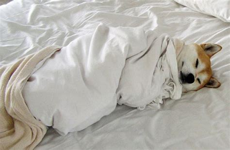 staying in bed all day 11 photos of snuggly pups that make you wanna stay in bed