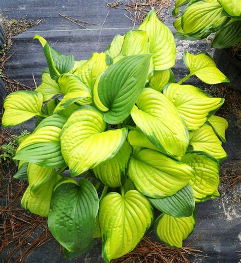 best plants for shade with lights hosta stained glass type perennial light to partial shade size 36 40 quot moisture keep
