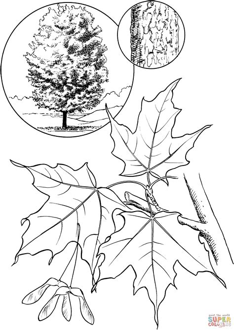coloring page of maple tree 301 moved permanently