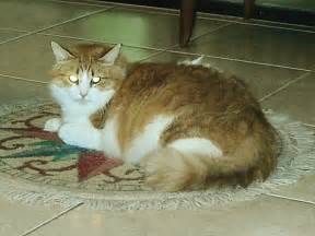 why do cats on rugs sumo numo our cat newman digitalcompassshop
